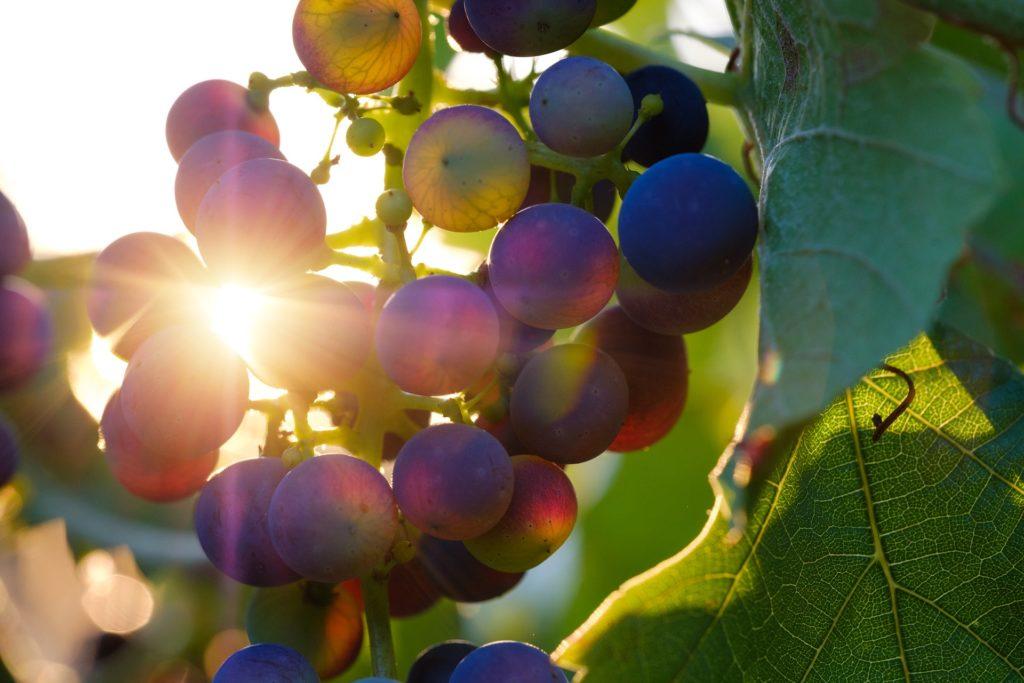 culture vinicole montmorency